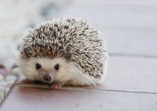 pet hedgehog