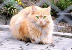persian cat staring